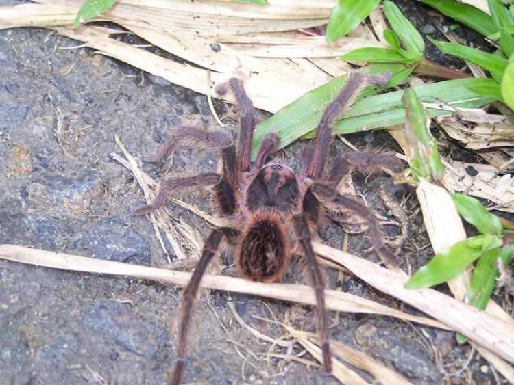 matoutou spider - unusual activities Martinique