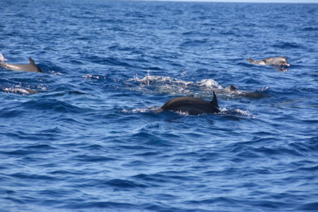 dolphins - Martinique activity
