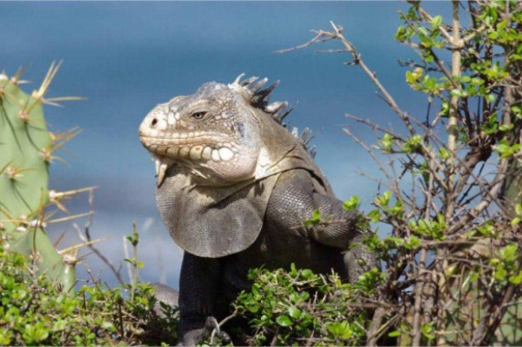 iguane - activités Martinique