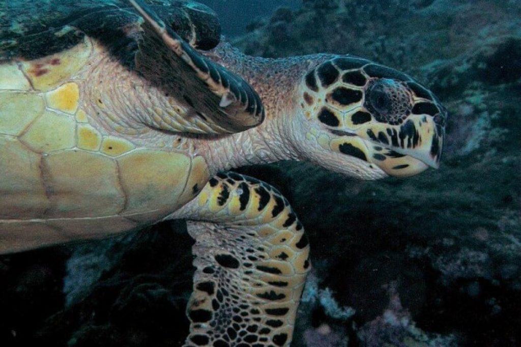 tortue de mer - Martinique