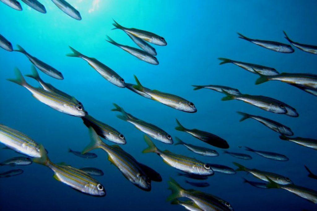 poissons, plongée - Martinique