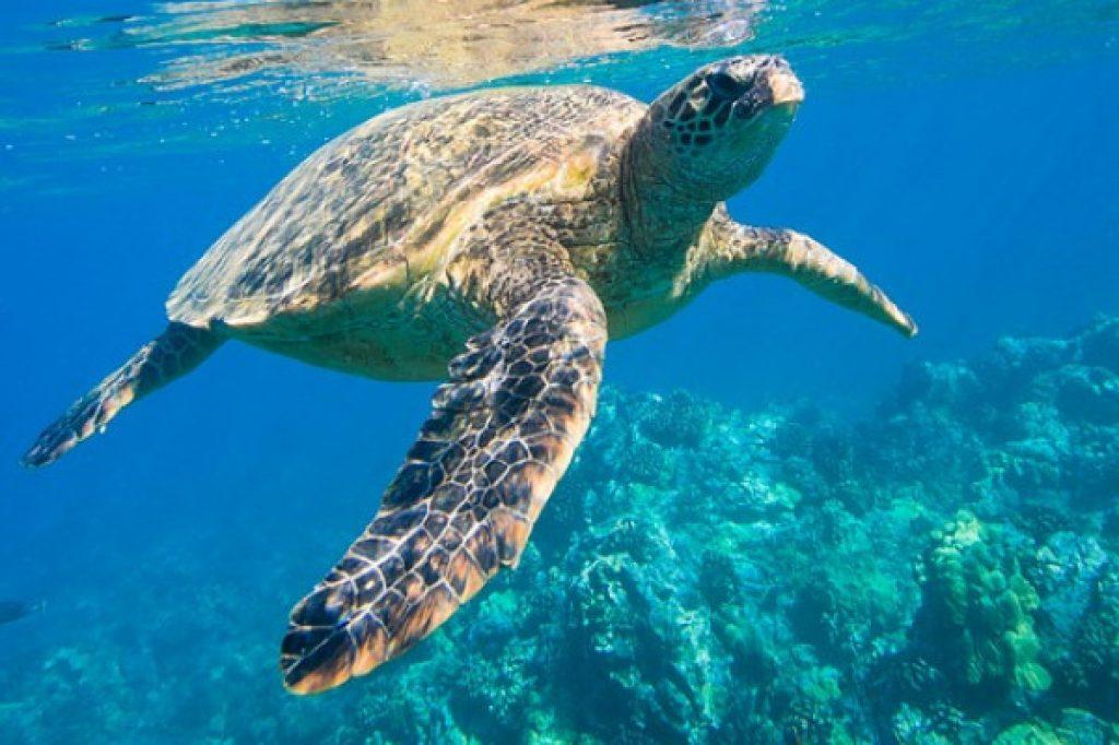 tortue, snorkeling martinique