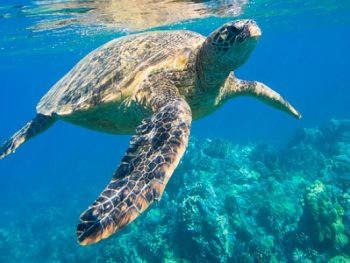 tortue, snorkeling martinique